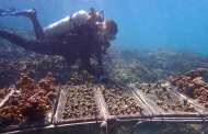 Corals that withstood a severe bleaching event and were transplanted to a different reef maintained their resilient qualities