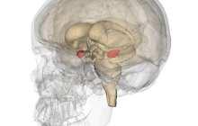 Micro-circuits in the brain that regulate fear