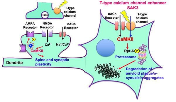 Neurodegenerative diseases such as Alzheimer's disease and dementia with Lewy body (DLB) are caused by the accumulation of aggregated amyloid beta and ?-synucelin, respectively. The aggregated proteins impaired the proteasome activity, thereby exacerbating neuronal death. On the other hand, we developed a novel T-type calcium channel enhancer SAK3 in 2017. Since T-type calcium channel is critical for neurotransmitter release, SAK3 enhanced the acetylcholine release in the brain thereby improving learning and memory. We here found that calcium entry through T-type calcium channel activates protein kinase (CaMKII), thereby promoting Rpt-6 phosphorylation. The Rpt-6 phosphorylation promoted the degradation of aggregated amyloid beta and ?-synucelin in neurons. This is the first disease modifying therapeutics in most neurodegenerative diseases such as Alzheimer's disease, dementia with Lewy body (DLB), Huntington disease (HD) and frontotemporal dementia (FTD). Credit: Kohji Fukunaga