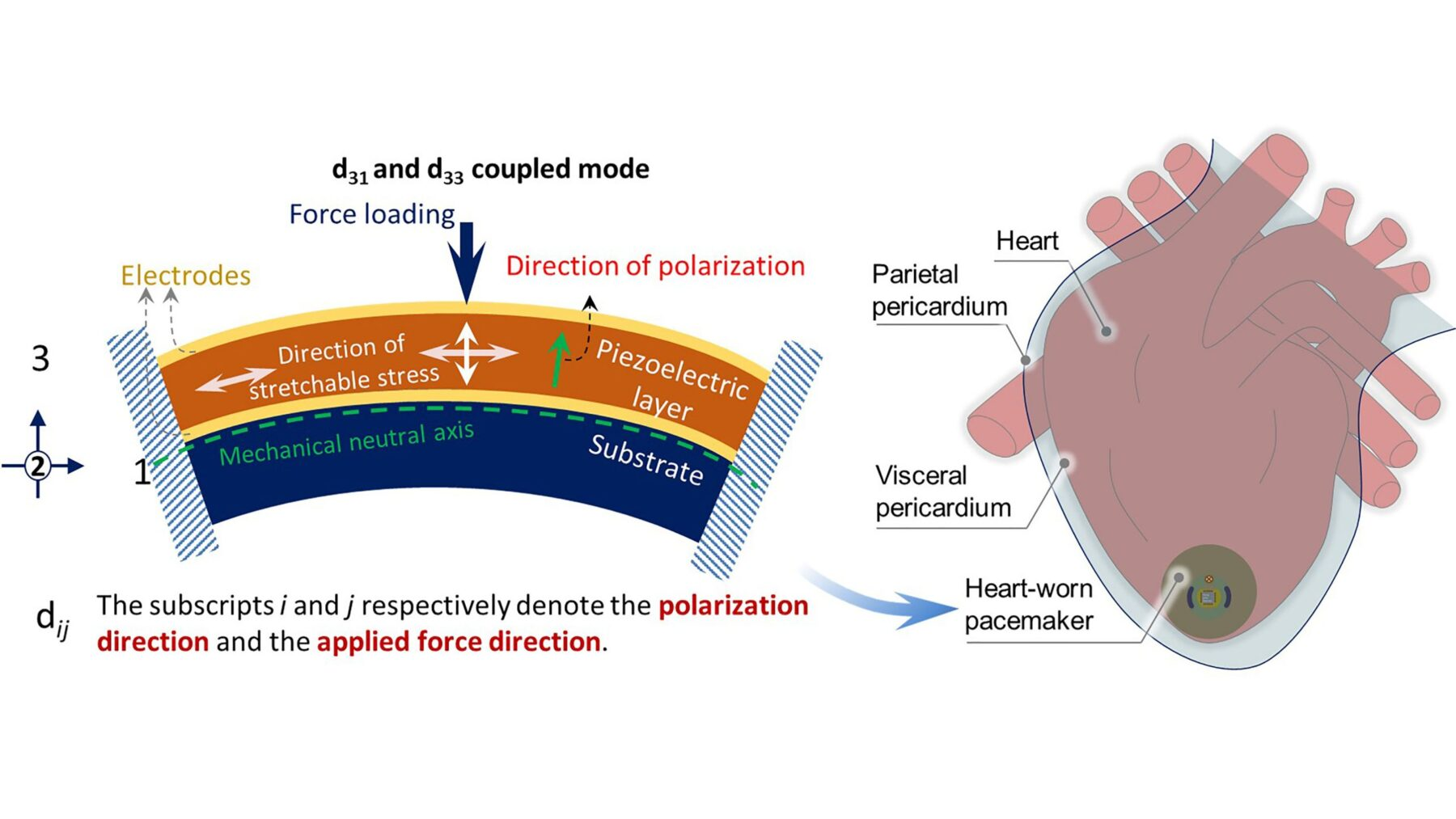 The cardiac pacemaker of the future could be powered by the heart itself, according to researchers at Shanghai Jiao Tong University. CREDIT: Yi Zhiran