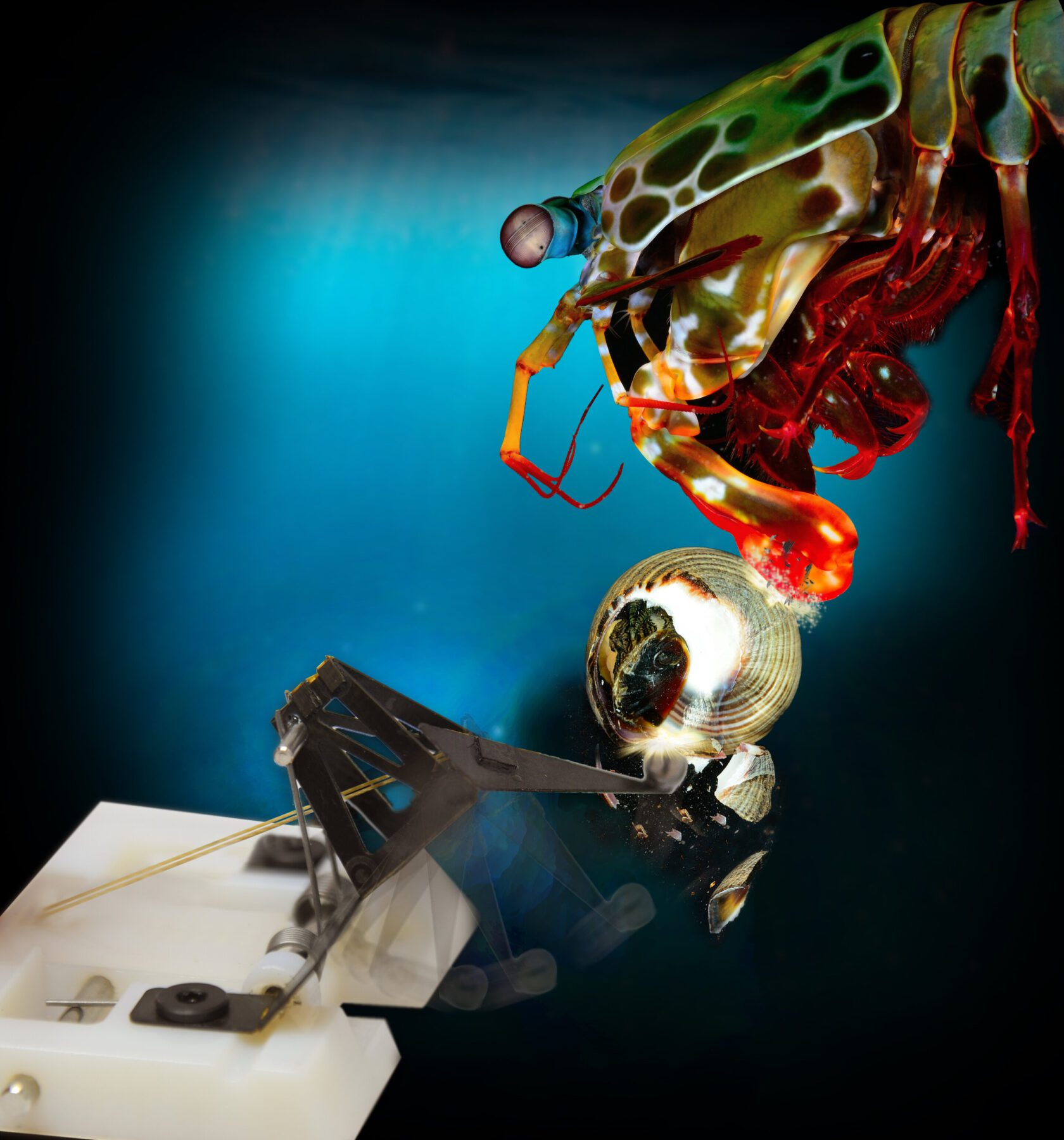 An interdisciplinary team of roboticists, engineers and biologists modeled the mechanics of the mantis shrimp's punch and built a robot that mimics the movement. (Credit: Second Bay Studios and Roy Caldwell/Harvard SEAS)