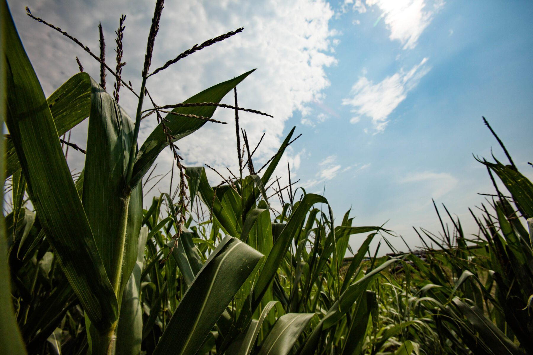 RIPE researchers have shown that by treating photosynthesis as a dynamic process, C4 plants like corn could improve their reaction to changes in light, improving overall yield. Image by Brian Stauffer?