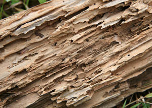 Termite-damaged wood showing rotting galleries outside of a Bemidji home