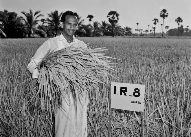 High-Yield Rice (IR8)