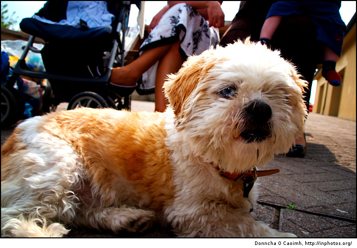 Shih Tzu in the sun