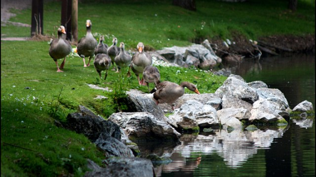 The Wild Geese Family