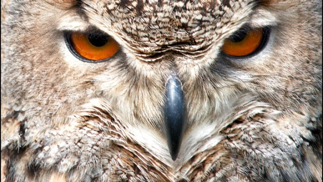 The Eagle Owl is Watching