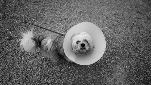 Dog in a lampshade