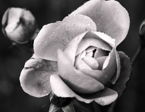 A rose by any other colour