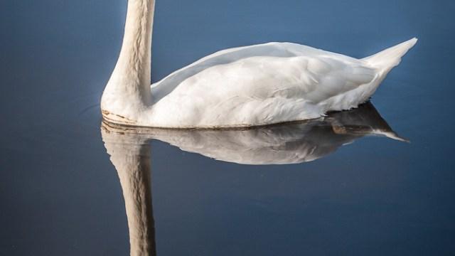 Swan on the Lakes of Killarney