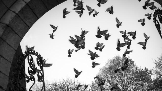Pigeons Rising