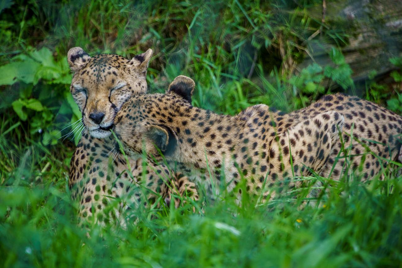 Cheetah Cuddles