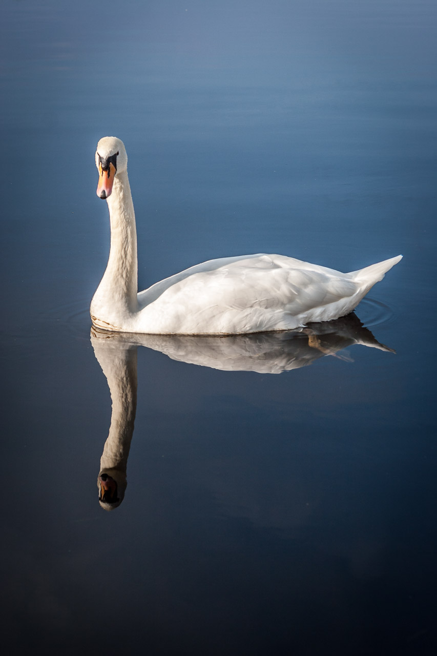 A Swan by Ross Castle