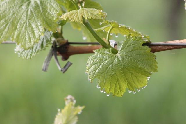 Vines of Alexander Valley at bud break