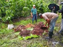 Making compost, Loma Sotavento Cacao plantation, Dominican Republic