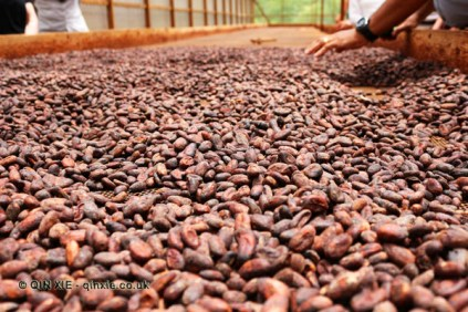 Cocoa beans drying, Belmont Estate, Grenada