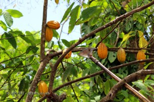 Cutting cocoa pods, Belmont Estate, Grenada