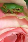 middlefrog