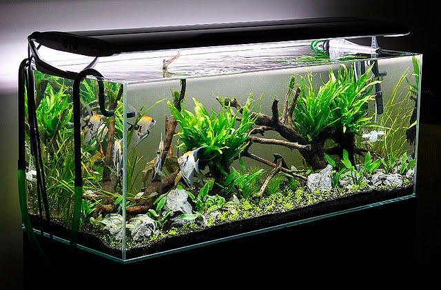 Aquarium aquascape bersih. Cara membersihkan aquarium agar sejuk dipandang seperti ini.