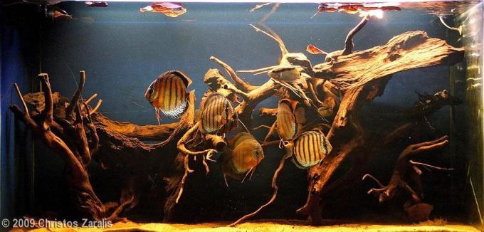 Aquarium besar: Aquascape Biotope Style