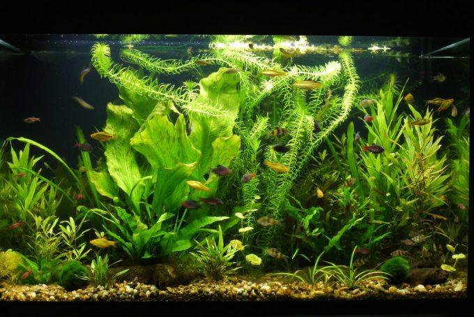 Aquarium besar: Aquascape Walstad Method