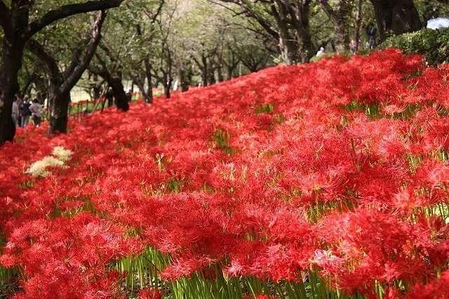 Higanbana flowers gongendo