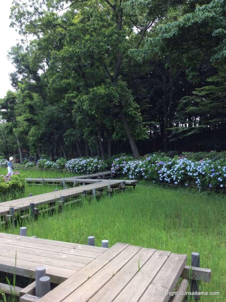 Lotus Pond and Hydrangea, Maruyama Park