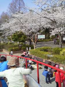 Hanami with toddlers, Maruyama Park, Ageo