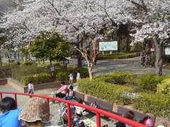 Ageo Cherry Blossom Festival