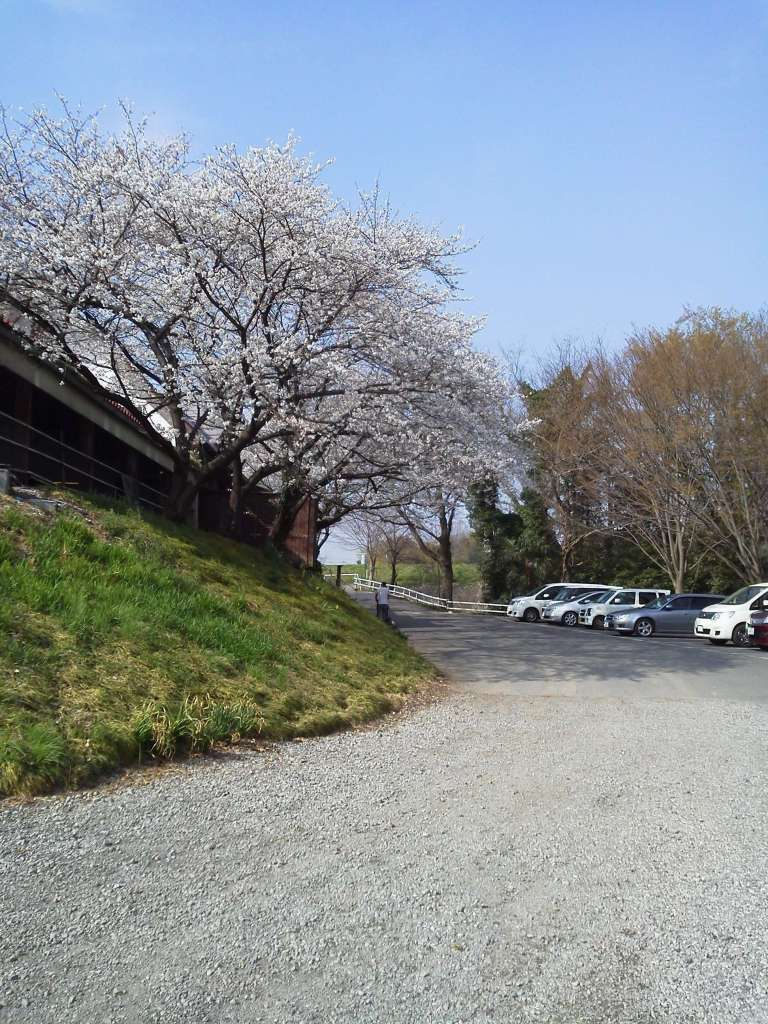 Cherry blossoms at Enomoto