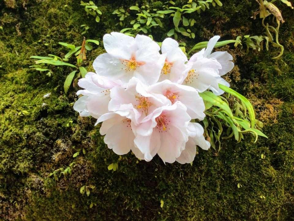 Cherry blossom on moss