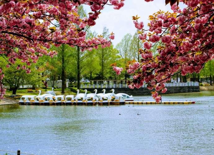 Yaezakura Swan boats lake at Kawagoe Water Park