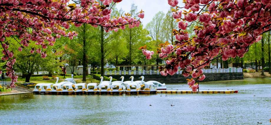Yaezakura Swan boats lake at Kawagoe Water Park