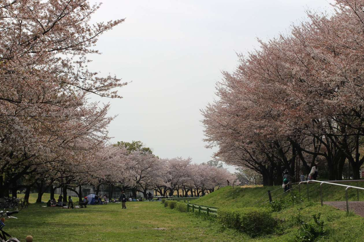 Cherry blossoms at Kawagoe Water park