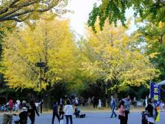 Gingko trees at Hikarigaoka Park