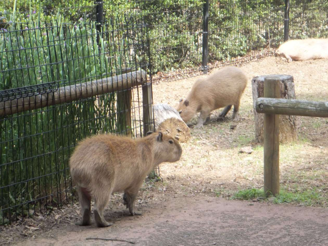Capybaras at Saitama Children's Zoo