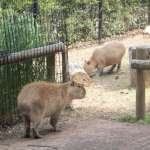 Capybaras at Saitama Children's Zoo