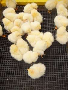 Easter Saitama Baby chicks you can hold at the Saitama Children's Zoo