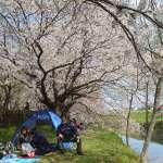 Isanuma Park Cherry Blossom