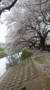 Cherry Blossoms at Isanuma Park | Kawagoe