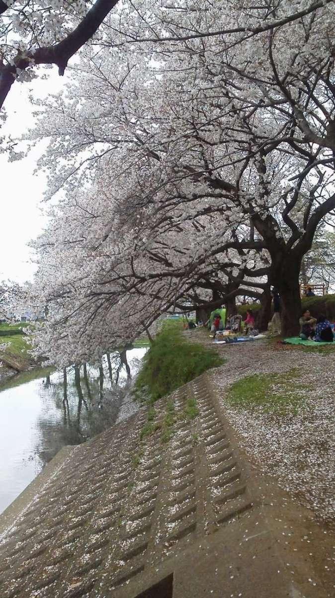 Sakura Festival at Isanuma Park | KAWAGOE