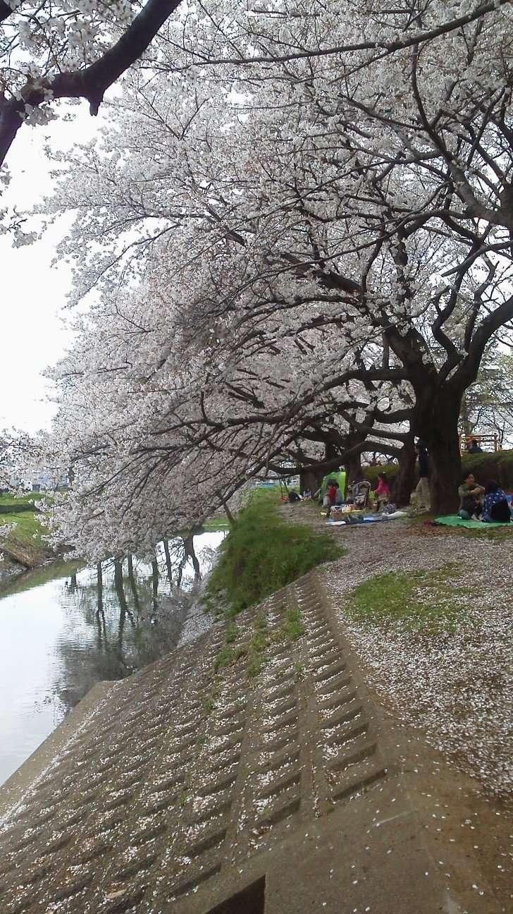 Isanuma Park Cherry blossom festival