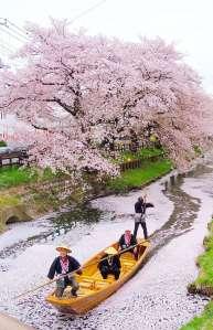 Cherry Blossoms Shingashi River | Kawagoe
