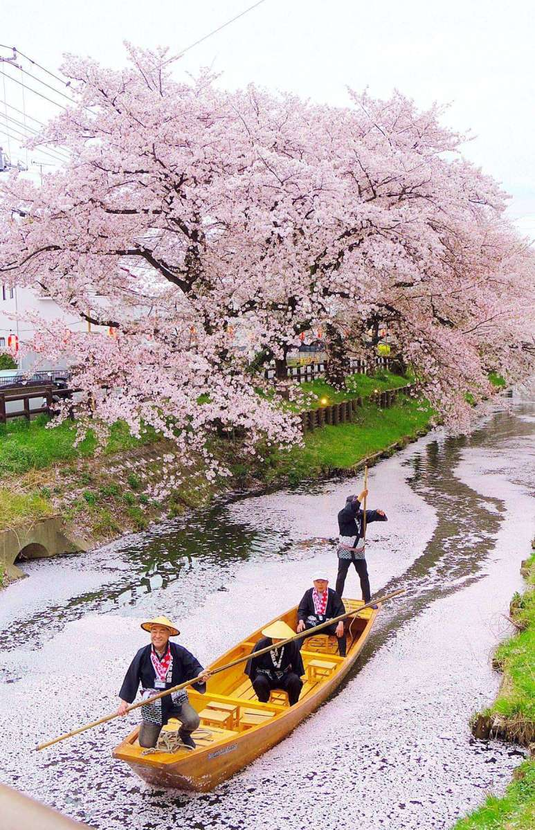 Cherry Blossoms Shingashi River | Kawagoe