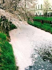 River of pink shingashi river hikawa shrine cherry blossoms kawagoe