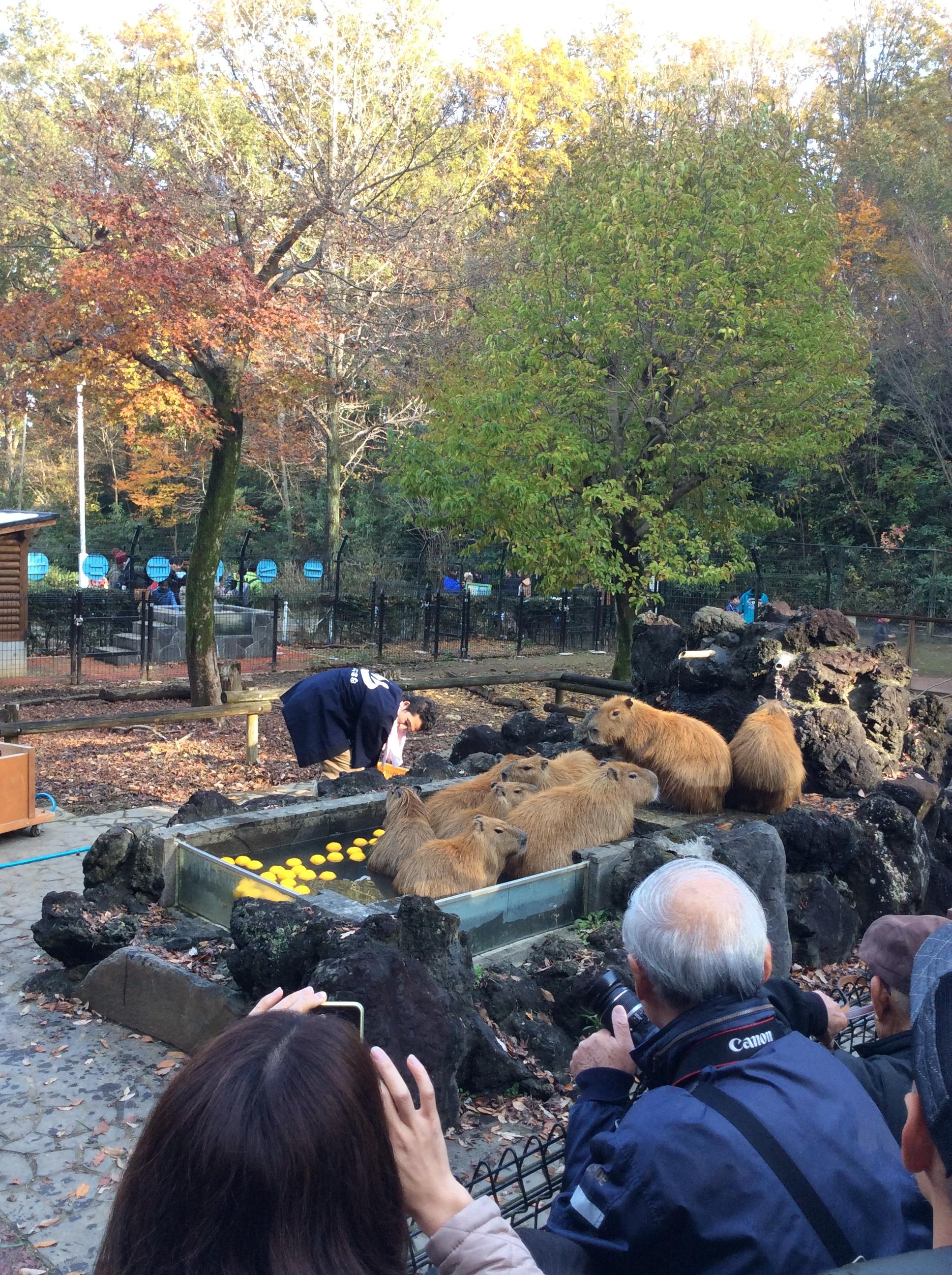 Capybara Onsen at Saitama Children's zoo