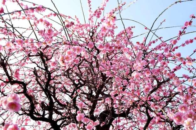 Ogose plum blossom festival