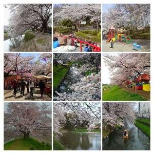 A map of Sakura Cherry Blossom Locations | SAITAMA