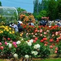 Ina Rose Festival and Season in 2021