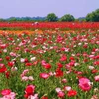 May Poppy and Flower Festival | KOUNOSU